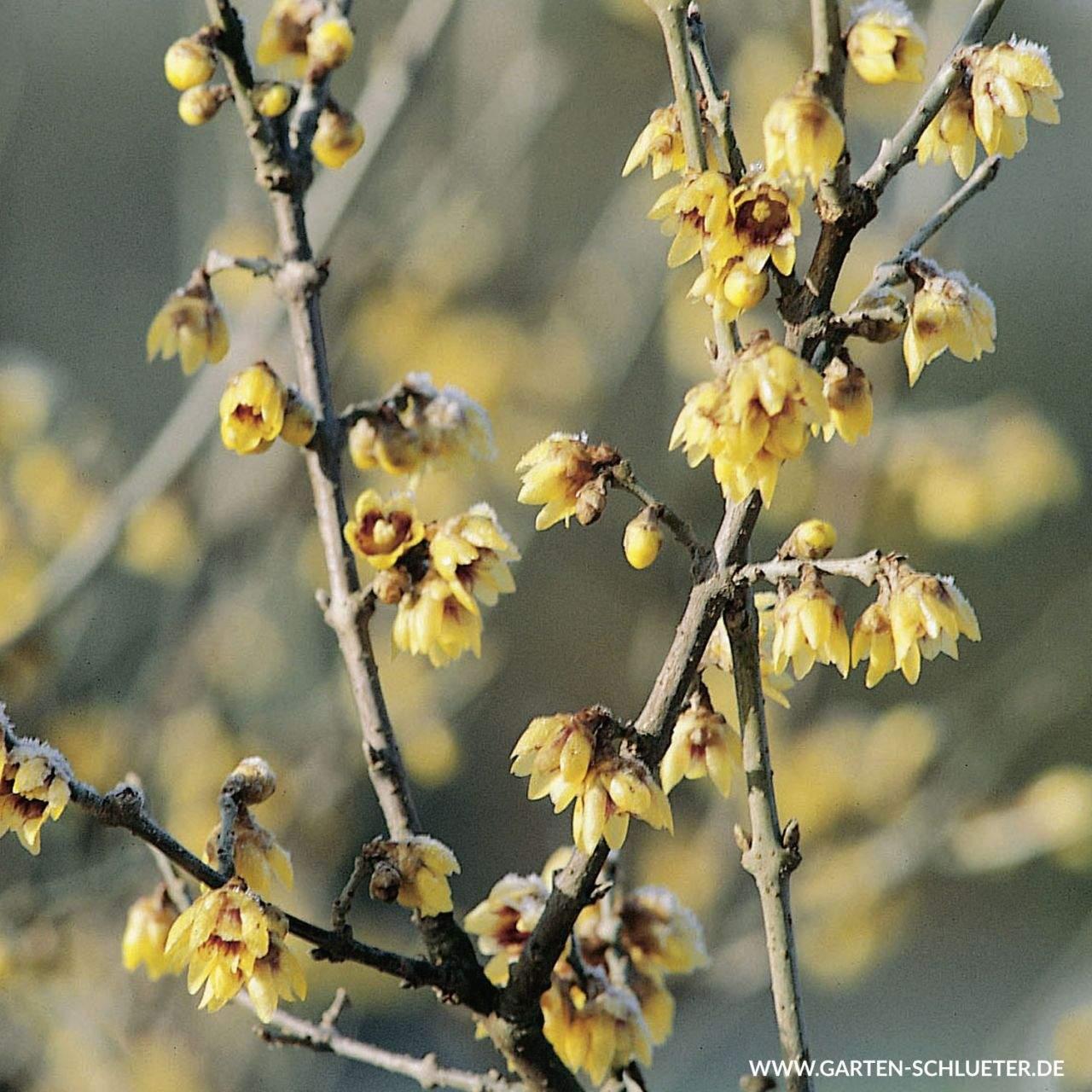 1 Chinesische Winterbluete Chimonanthus praecox 1280x1280