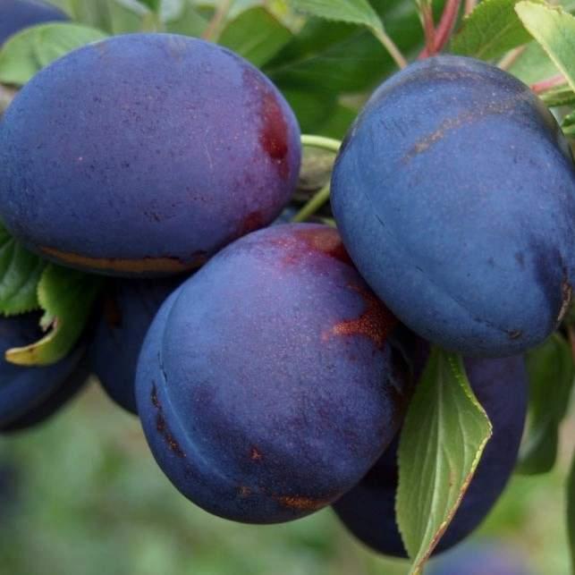 kirkespflaume pflaume sehr sub und saftig buschbaum ca 150 170 4981