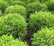 Garten Sichtschutz Bambus Reizend Fargesia Moontears