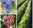 Garten Spalier Inspirierend 2er Set Weinrebe solara Und Vanessa Blau Und Rosa Pilzfest Fast Kernlos Wein Süß 60 80 Cm