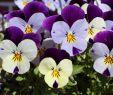 Garten Stiefmütterchen Frisch Diese 16 Pflanzen Sind Ungefährlich Für Deine Katze Watson