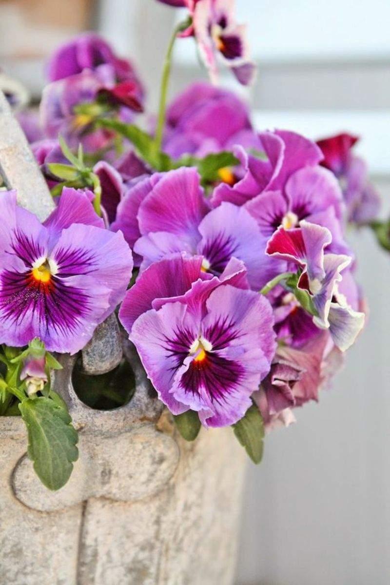 Garten Stiefm C3 BCtterchen Viola wittrockiana Fr C3 BChlingsblumen Bilder