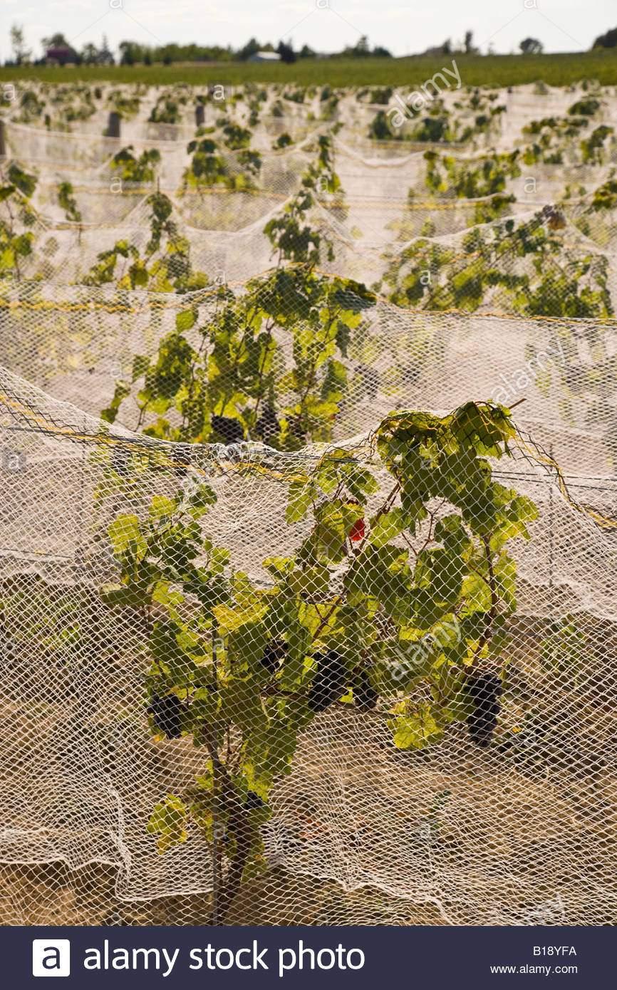 netze zum schutz von trauben aus vogel am weinberg in niagara halbinsel ontario kanada b18yfa