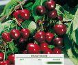 Garten Versailles Inspirierend Süßkirsche Große Schwarze Knorpelkirsche Prunus Avium