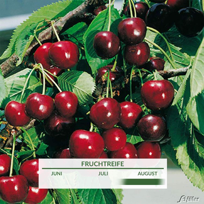 2 Suesskirsche Grosse Schwarze Knorpelkirsche Prunus aviumUQtho8d57J9nM 1280x1280 2x
