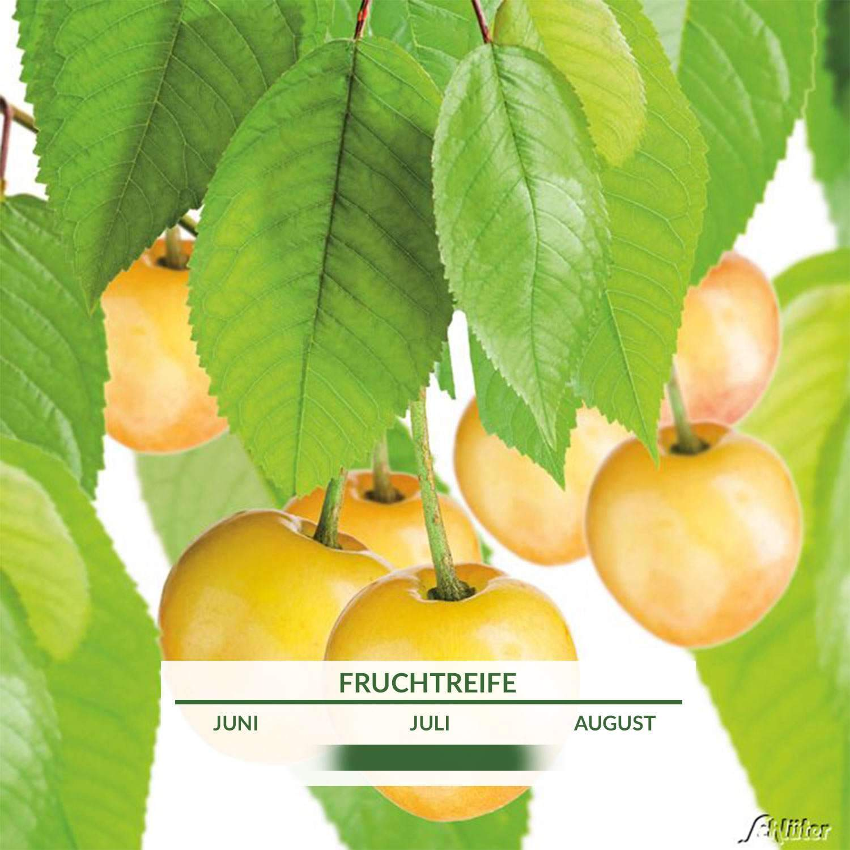 1 Suesskirsche Doenissens Gelbe Knorpelkirsche Prunus Doenissens Gelbe KnorpelkirschePFFpM3X195ydZ 1280x1280 2x