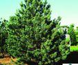 Garten Von Ehren Neu Pinus Sylvestris Watereri