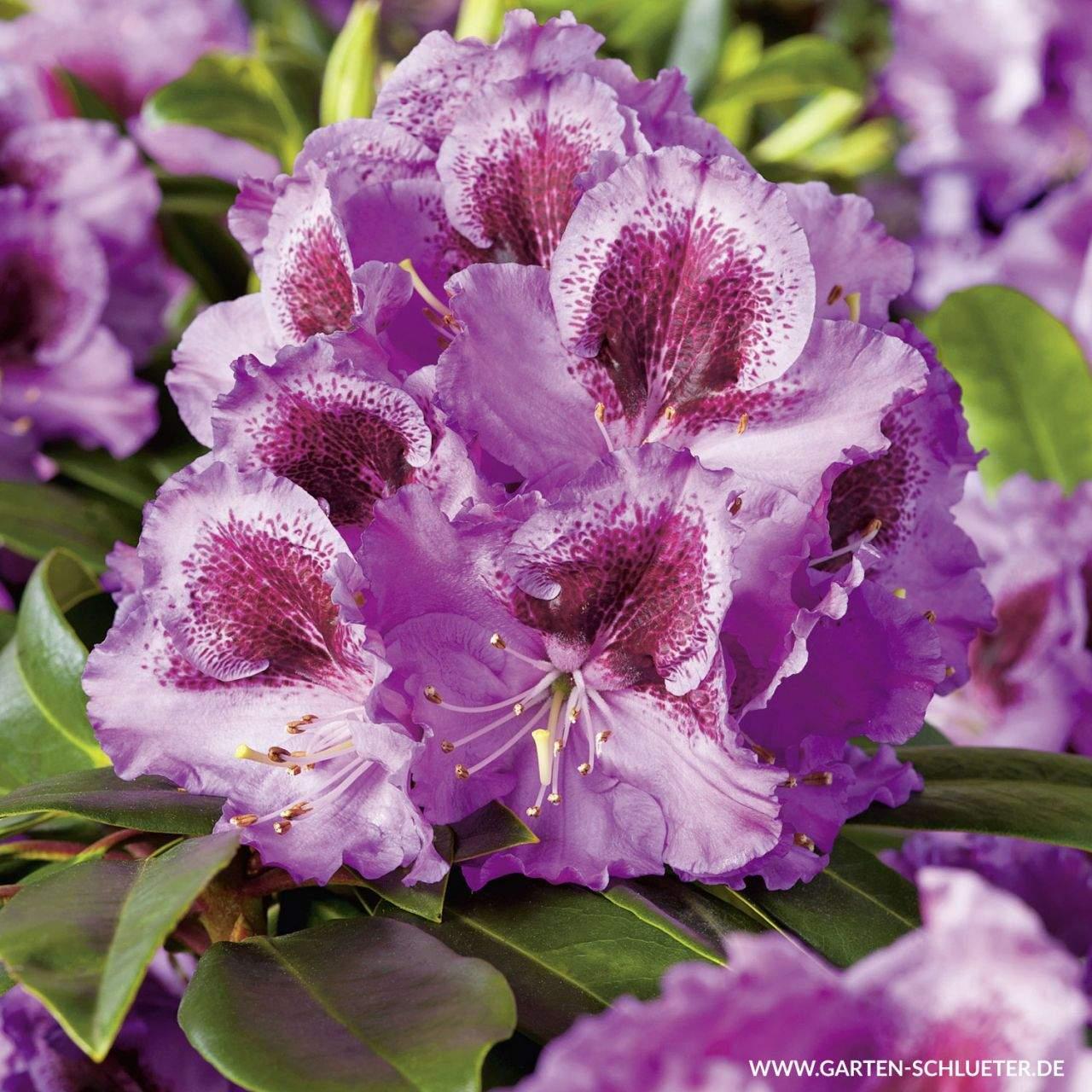 1 Rhododendron Hybride Pfauenauge INKARHO 1280x1280