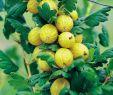 Garten Winter Das Beste Von Stachelbeeren Im Garten Pflegen – Gesund Und Lecker