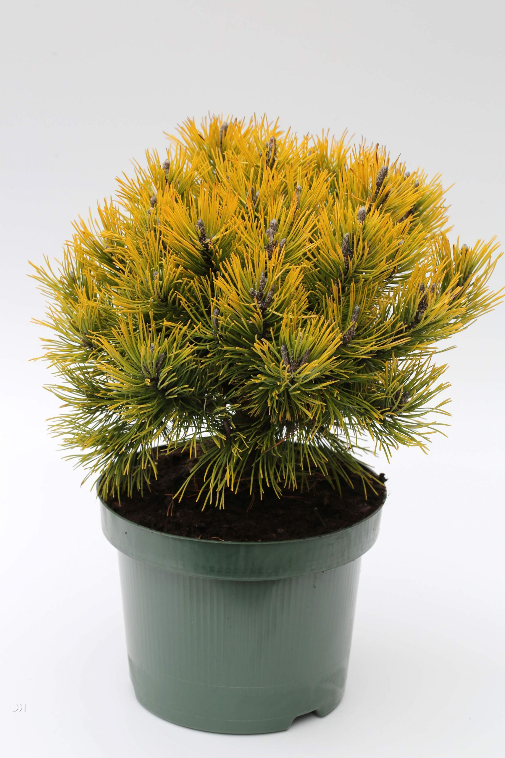 Pinus mugo Wintergold 1S1B6125