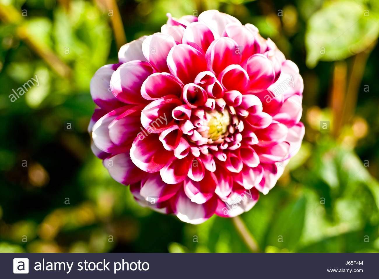 garten blume pflanze flora dahlie lila rosa schone garten beauteously schon j65f4m