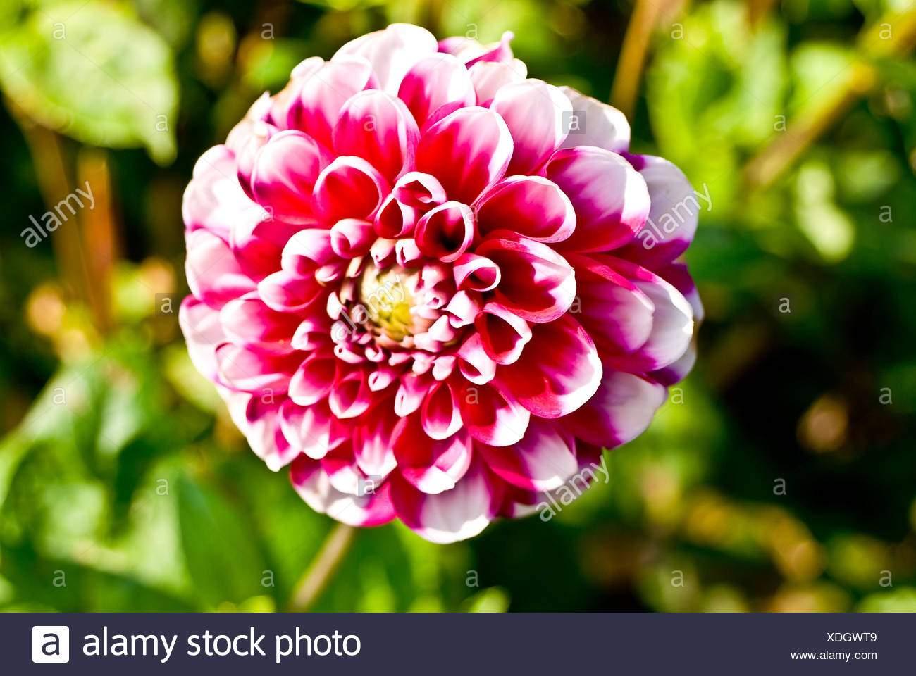 garten blume pflanze flora dahlie lila rosa schone garten beauteously schon xdgwt9
