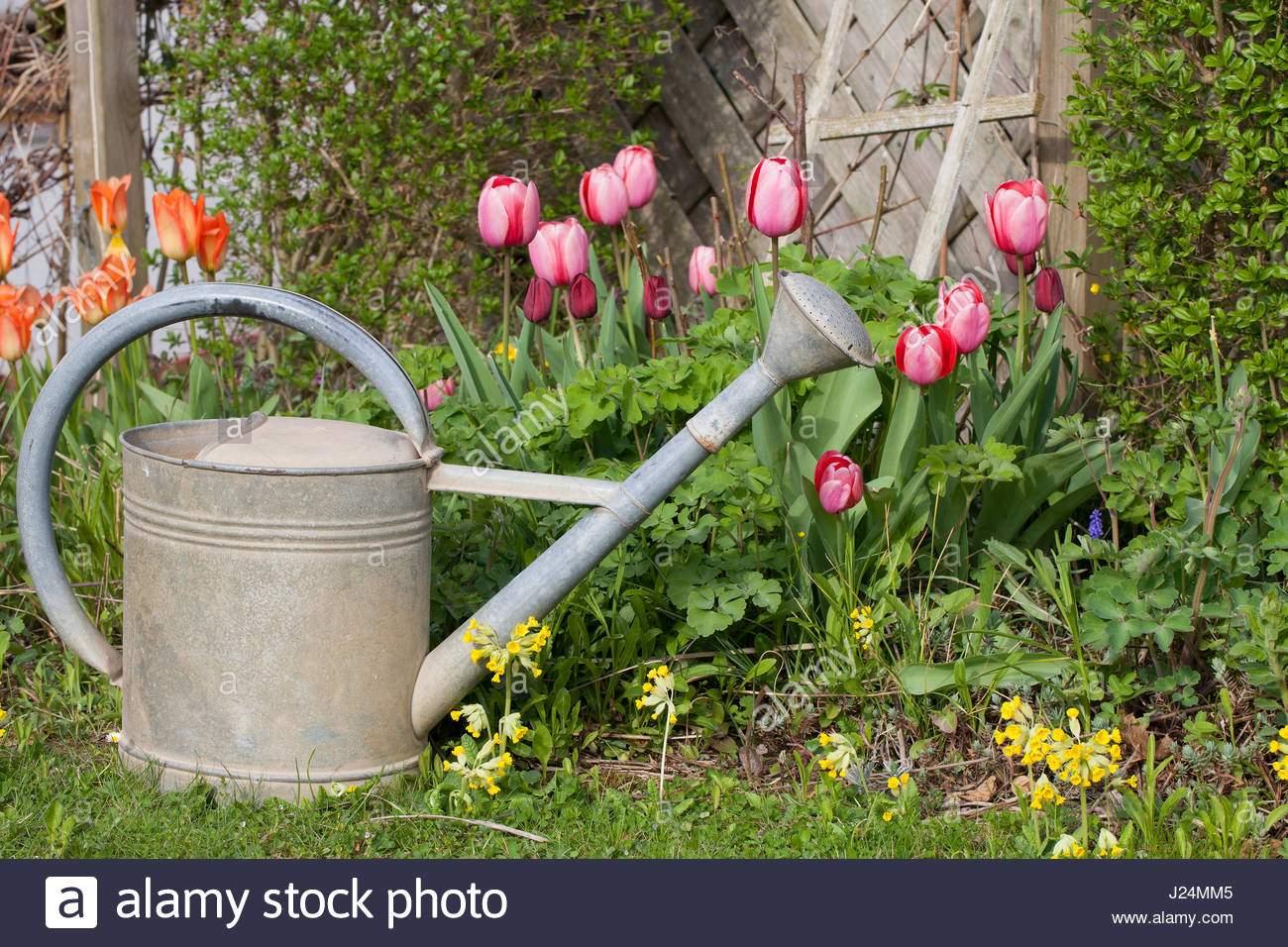 stockfoto alte giesskanne metall im garten mit tulpen und schlusselblumen