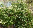 Giftige Pflanzen Im Garten Das Beste Von Vielblütige Lavendelheide Pieris Floribunda