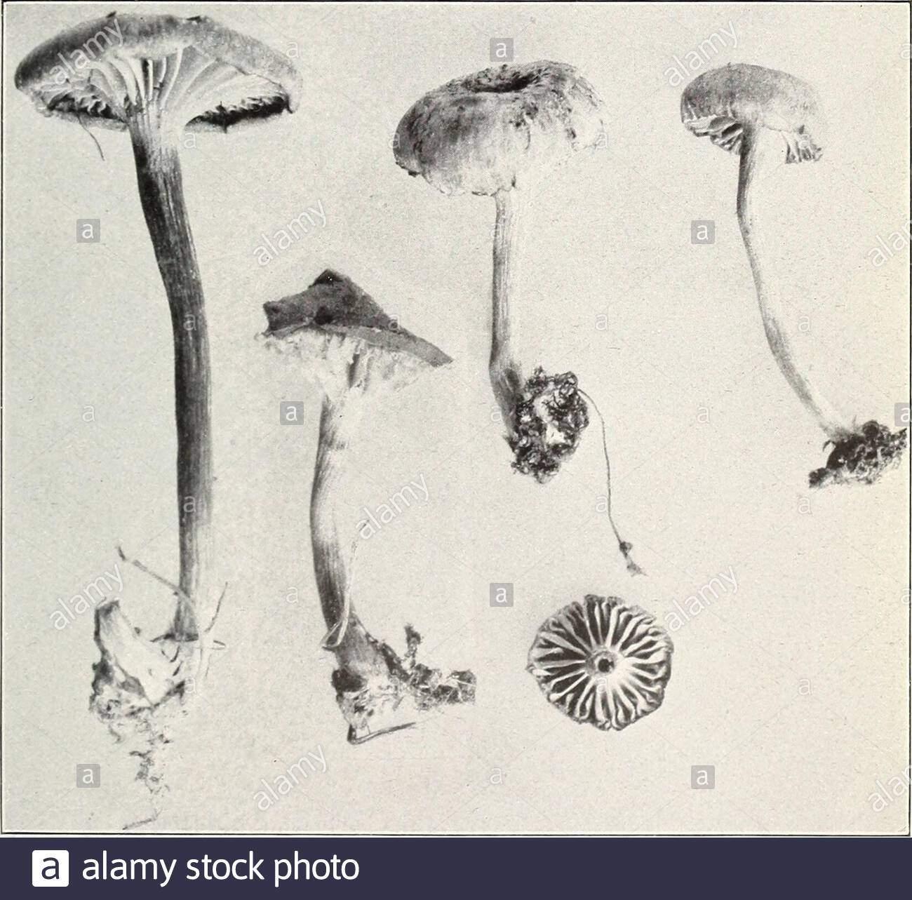 pilze und andere gemeinsame pilze abb 2 cantharellus cibarius essbare bui 175 ult 5 abt der landwirtschaft platte xi w 0 ich l 1 jp1 4 l l jpj k ifcj fcv 4 jh abb 1 clitocybe multiceps essbare abb 2 clitocybe laccata essbar bui 1 75 us abt landwirtschaft platte xii t f v w v r ft vtt abb 1 omphalia campanella essbare 2anejgj