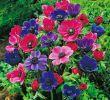 Gloria Garten Das Beste Von 26 Einzigartig Garten Ringelblume Reizend