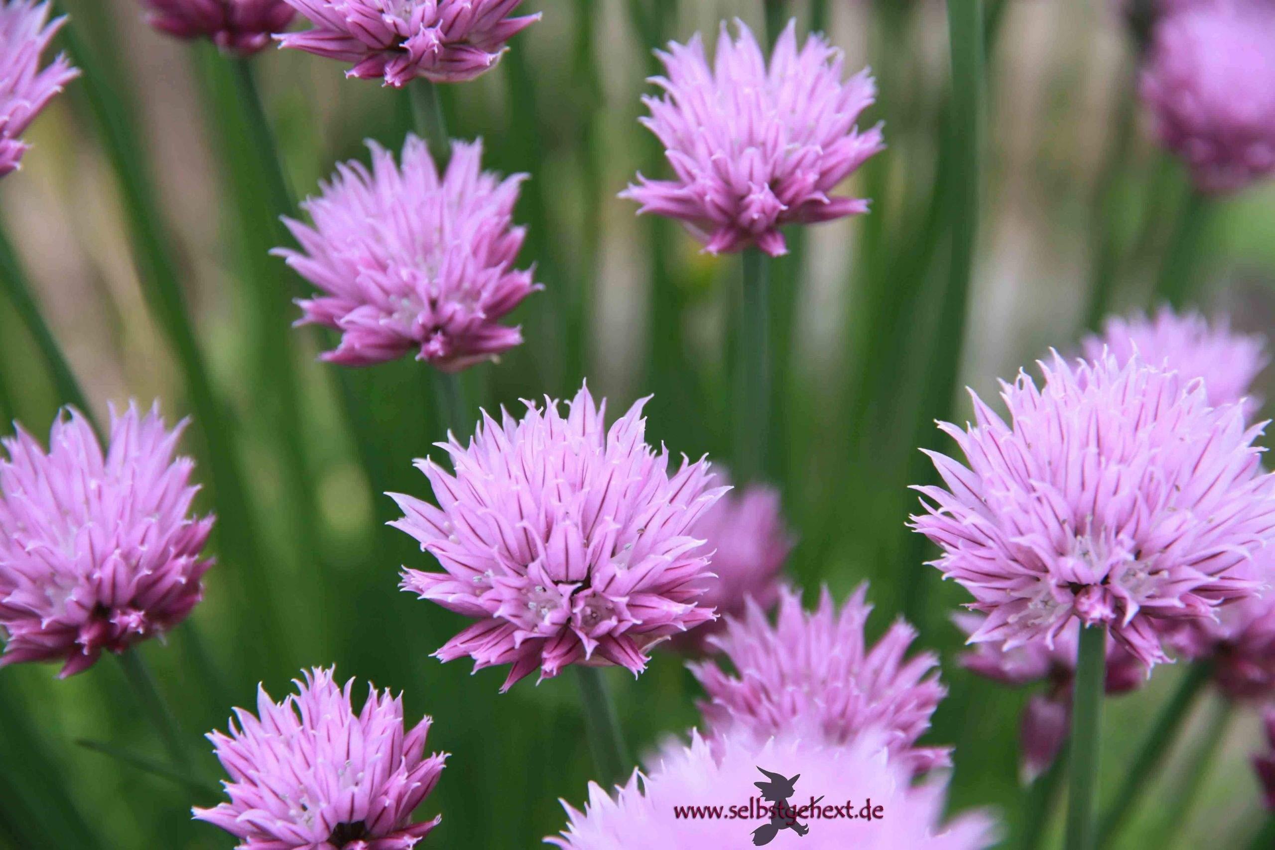 garten ringelblume genial schnittlauchbluten fruhlingsessig of garten ringelblume scaled