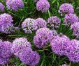 Hamburg Botanischer Garten Elegant Allium Zierlauch Im Garten Blumenzwiebel