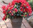 Hecke Garten Frisch Zwergrhododendron Bengal