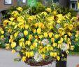 Hecke Garten Neu Clematis Schling & Kletterpflanzen
