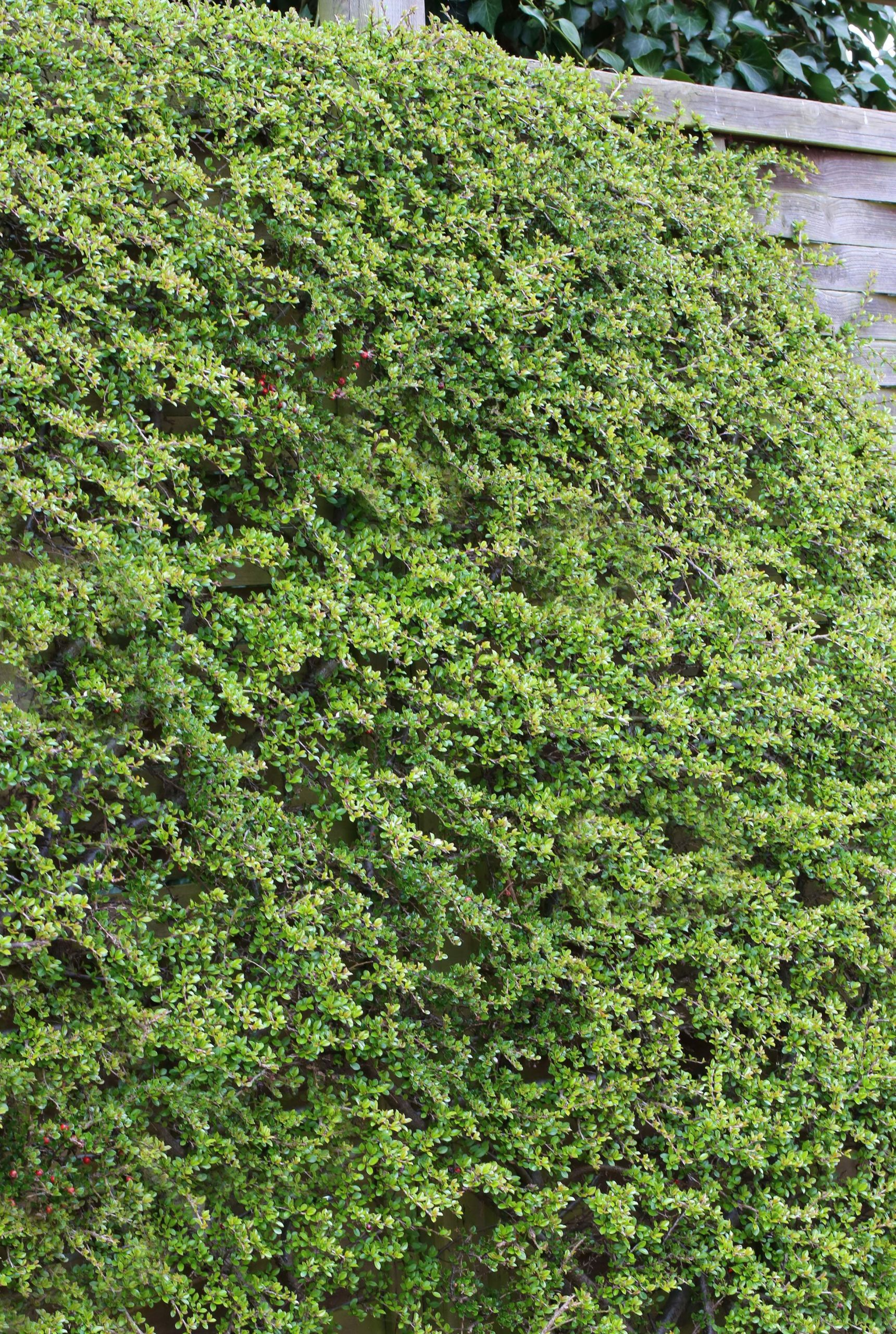 Cotoneaster dammeri Coral Beauty b 1S1B4213