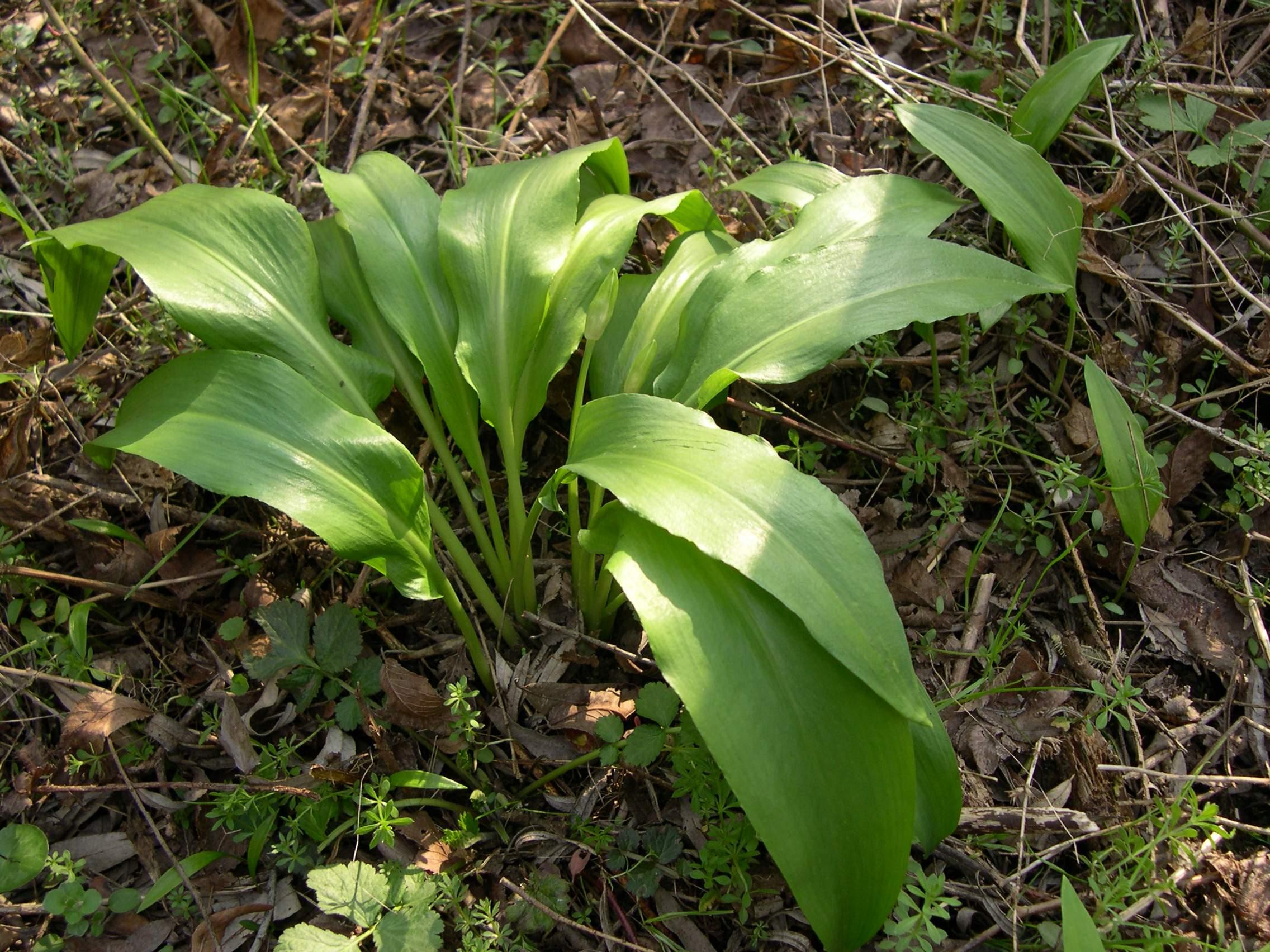 Allium ursinum JPG