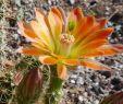"""Herbst Garten Frisch Echinocereus Coccineus """"alessio"""""""
