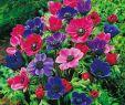 Herbst Garten Luxus Garten Anemone De Caen Mischung 15 Stück