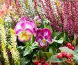 Herbstbepflanzung Für Kübel Und Balkon Garten Frisch Herbstbepflanzung Für Kübel Und Balkon Garten Ideen