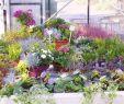 Herbstbepflanzung Für Kübel Und Balkon Garten Luxus Gärtnerei Meyer In Syke – Herbstpflanzen Für Garten Und Balkon