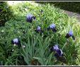 Herbstblumen Garten Winterhart Elegant Iris Jessicas Taglilien Garten