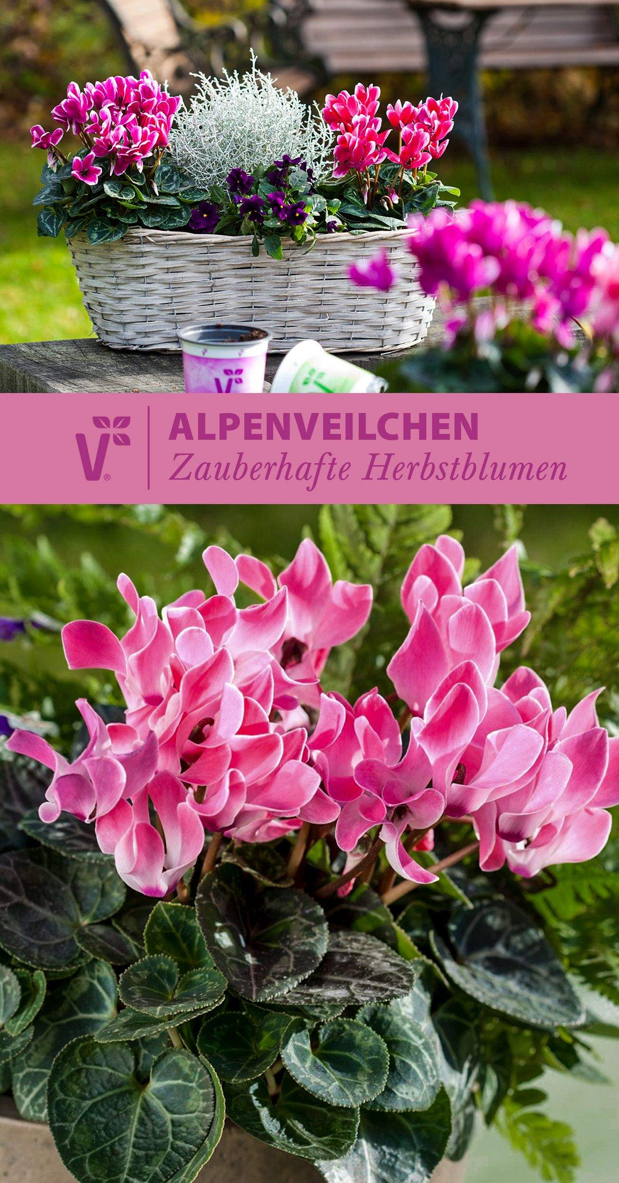 Herbstblumen Garten Winterhart Frisch Alpenveilchen Gehören Zu Den Herbstblumen Wunderschön