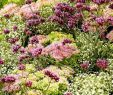 Herbstblumen Garten Winterhart Genial Baldur Garten Bodendecker Zitronenthymian 3 Pflanzen Thymus