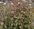 Herbstblumen Garten Winterhart Genial Weiß Herbst Blumen Der Frommen Winterharte Staude Ageratina