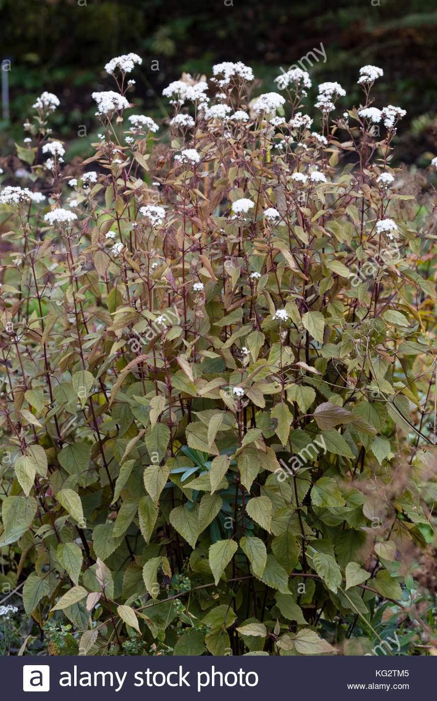 weiss herbst blumen der frommen winterharte staude ageratina altissima chocolate kg2tm5