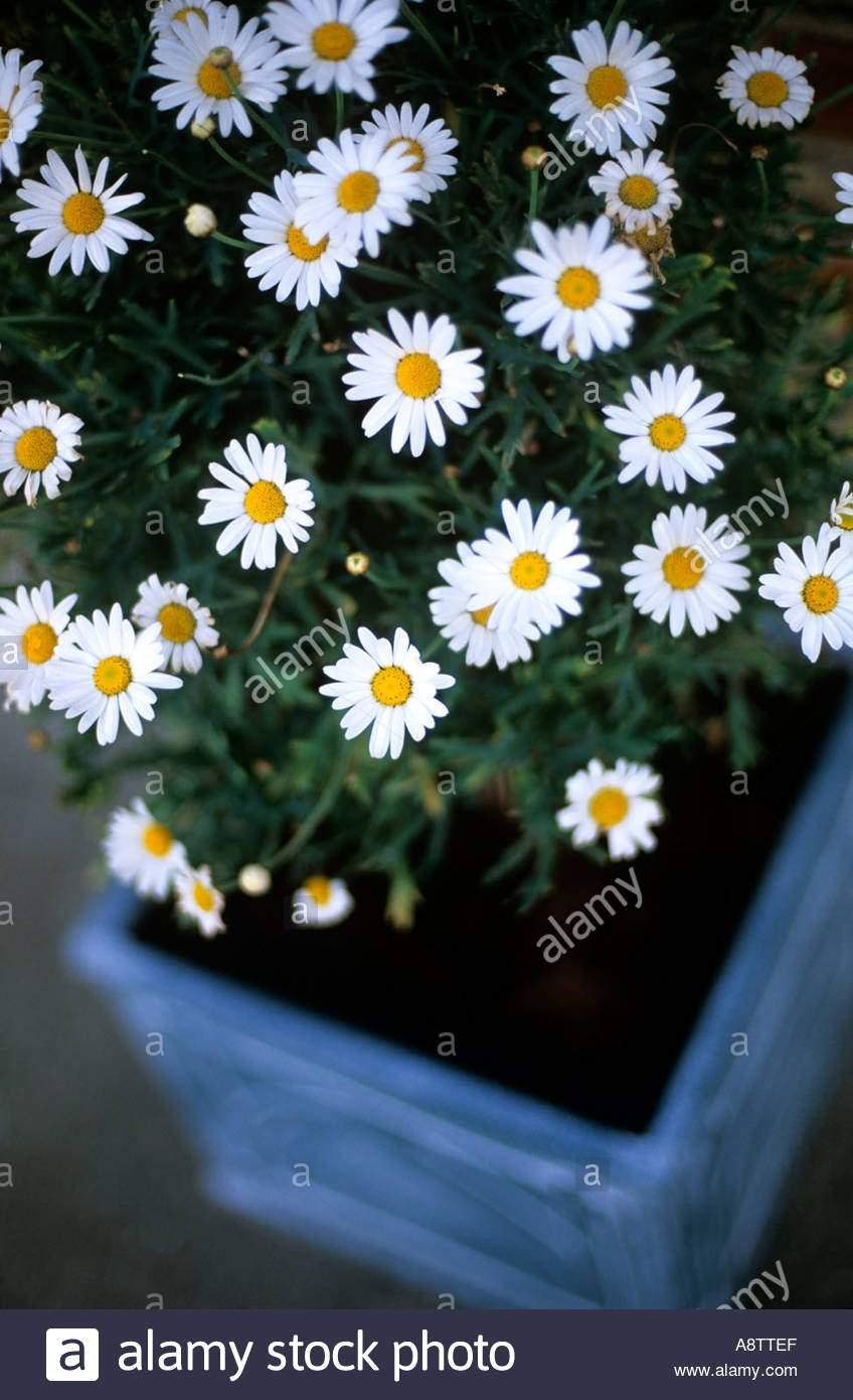 marguerite daisy in wanne im garten halb winterhart pflanze wachst a8ttef