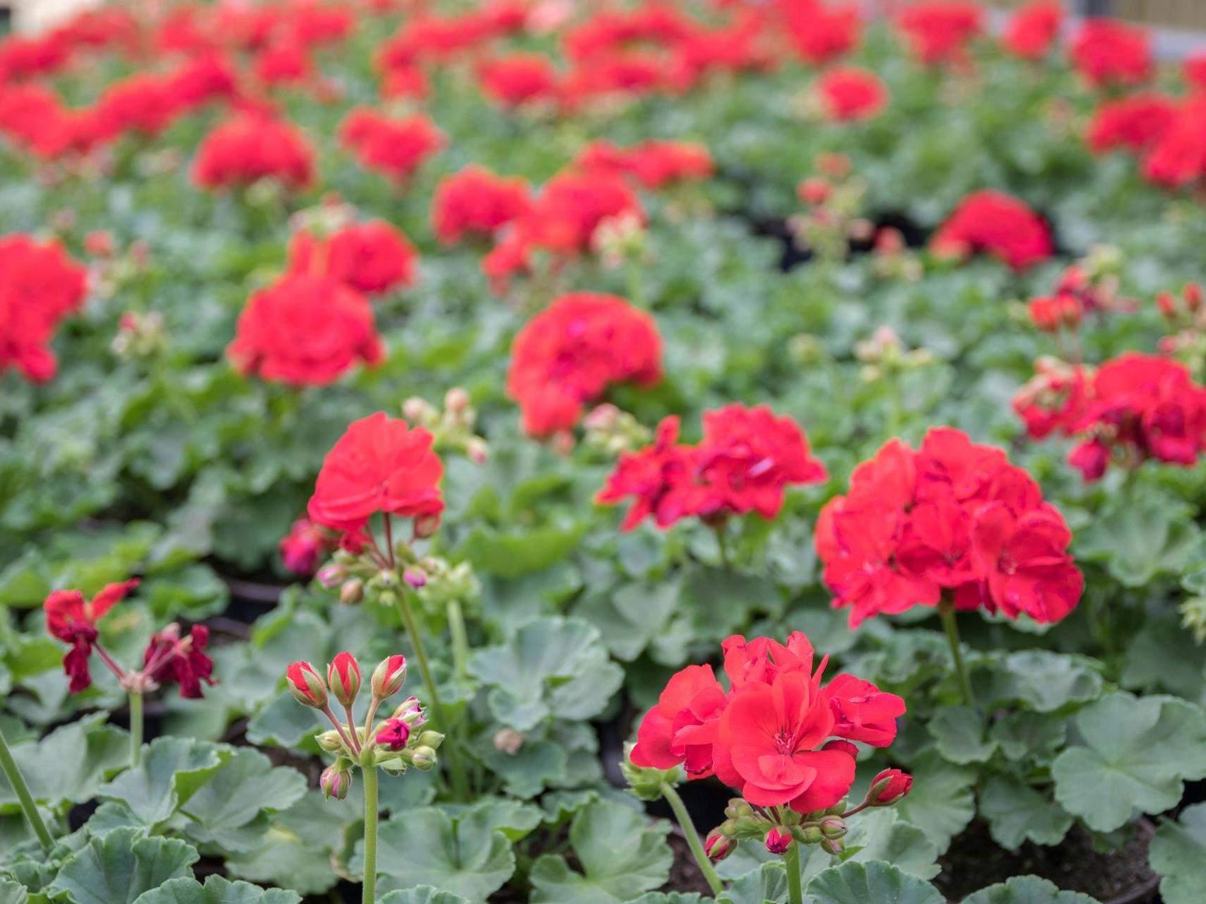 rote geranien wachsen in gewaechshaus gaertnerei