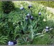 Herbstblumen Garten Winterhart Reizend Iris Jessicas Taglilien Garten