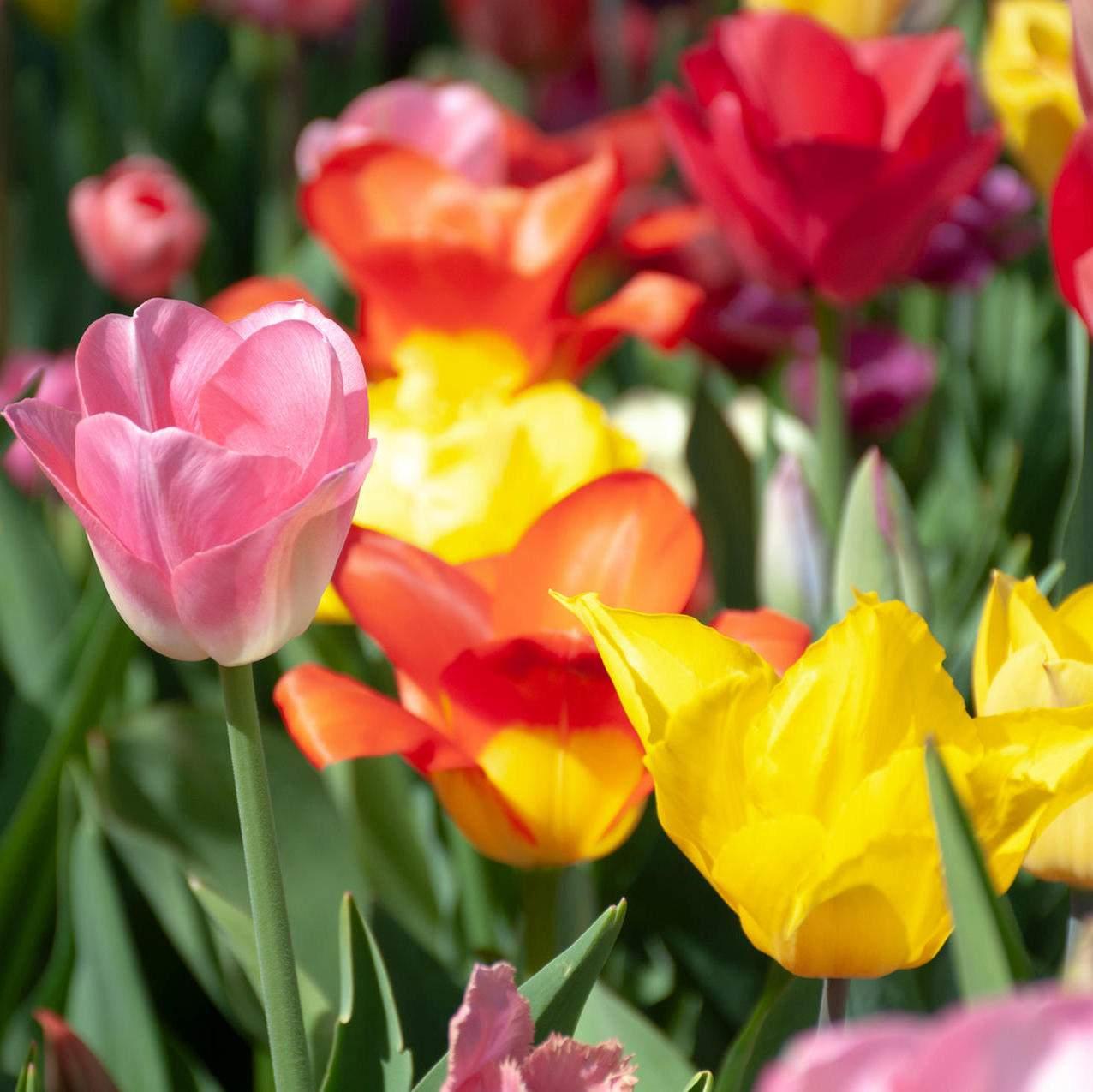 tulpen im garten waehrend der bluetezeit sollten sie tulpen regelmaessig giessen damit erde feucht bleibt