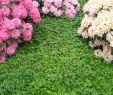 Herrenhauser Garten Luxus Teppich Golderdbeere • Waldsteinia Ternata