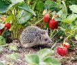 Igel Im Garten Inspirierend Die 194 Besten Bilder Von Igel In 2020