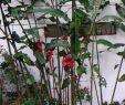 Ingwer Im Garten Einzigartig Fackel Ingwer –
