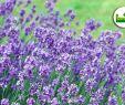 Ingwer Im Garten Luxus Lavendel Im Garten Pflanzen