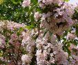 Insektenfreundlicher Garten Elegant Kolkwitzie