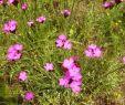 Insektenfreundlicher Garten Genial Dianthus Carthusianorum Karthäuser Nelke