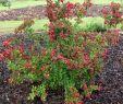 Insektenfreundlicher Garten Inspirierend Weigelie Bristol Ruby