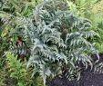 Japanischer Garten Anlegen Elegant Japanischer Regenbogenfarn athyrium Niponicum Metallicum