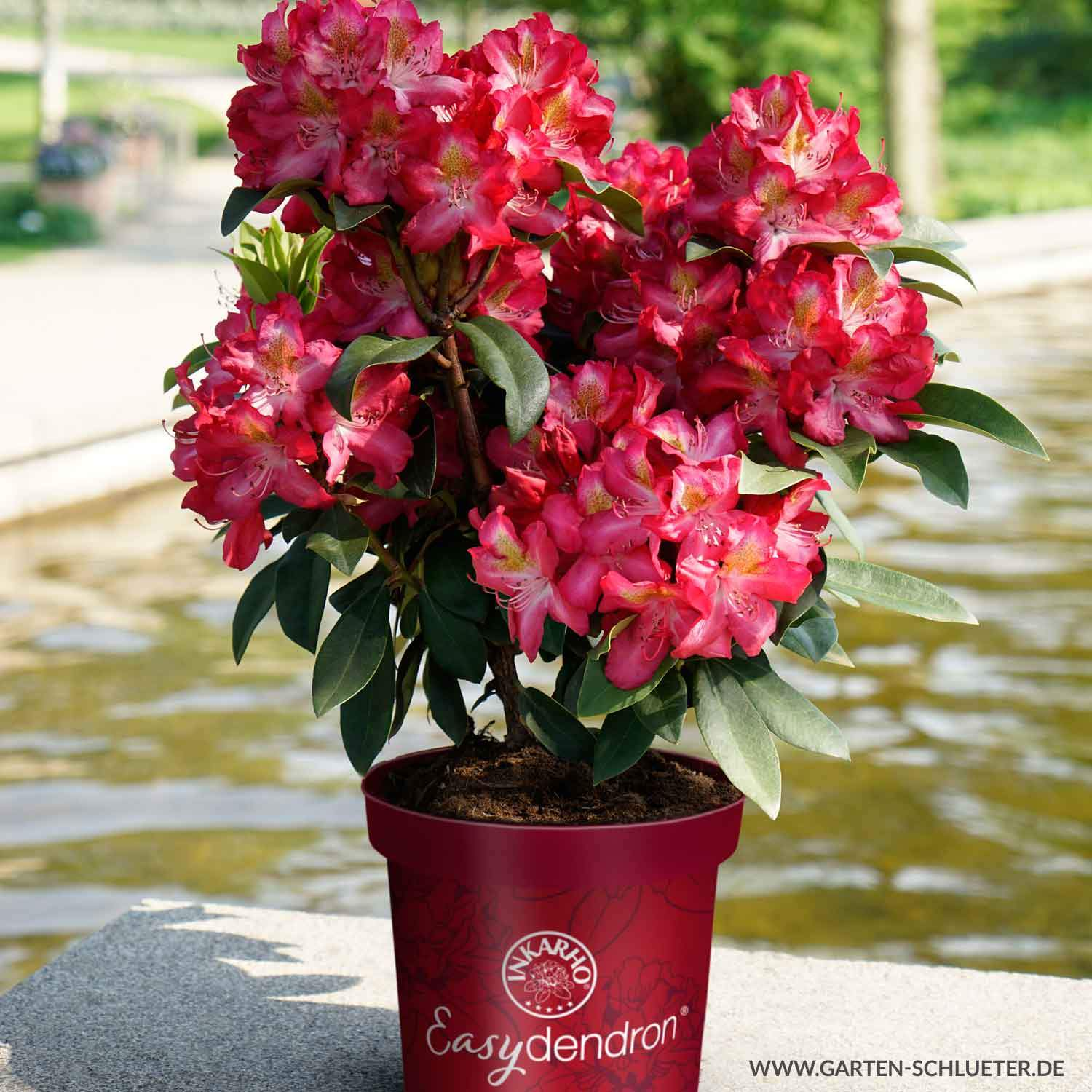 1 Rhododendron Junifeuer Easydendron Rhododendron hybride