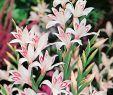 Japanischer Garten Berlin Neu Zwerg Gladiole Nanus Nymph 10 Stück Gladiolus