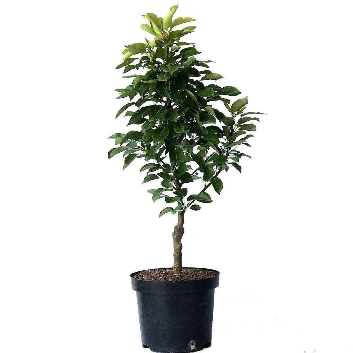 zwergbirne luisa birne kleinbleibender birnenbaum zwergwuchsig 3433